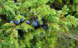 Можжевельник сибирский: описание и выращивание в домашних условиях