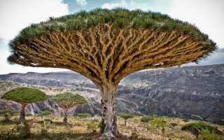 Драконово дерево: описание и выращивание