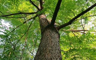 Кофейное дерево бундук канадский: описание и применение