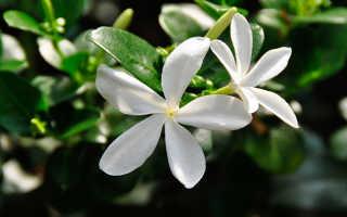 Растение Карисса: описание, уход и способ размножения