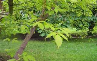 Клен ясенелистный американский: описание и выращивание