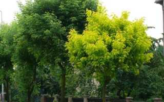 Клен американский ясенелистный: описание и выращивание