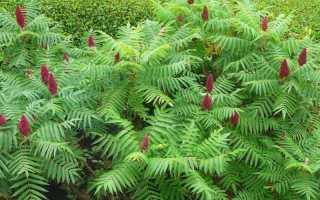 Дерево сумах. Особенности выращивания
