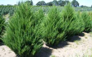 Можжевельник скальный: выращивание и уход