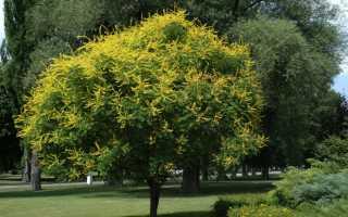 Кельрейтерия метельчатая, или мыльное дерево: описание, выращивание и уход, применение
