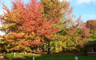 Ликвидамбар: описание и особенности выращивания
