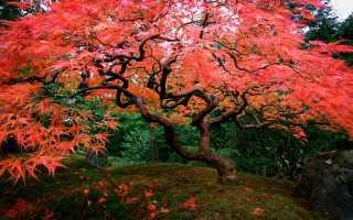 Клен японский красный: описание и выращивание