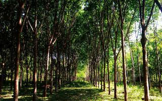 Гевея: полезные свойства каучукого дерева