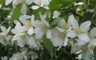 Чубушник Лемуана — садовый жасмин: описание и виды