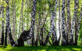 Русская красавица – береза: описание и правила посадки