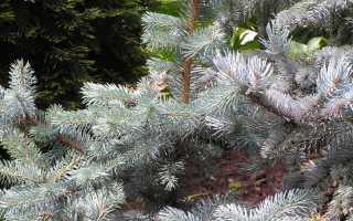 Ель колючая:  описание и виды дерева