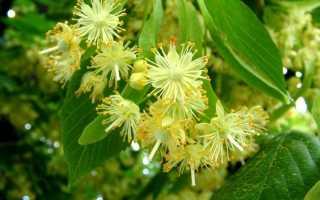 Липа – дерево с ароматом меда: описание и лечебные свойства