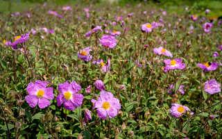 Ладанник: описание, виды и выращивание растения