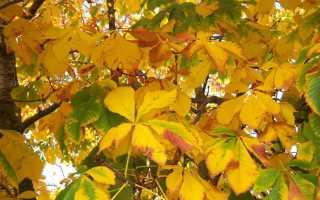 Почему желтеют каштаны летом