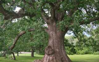 Белый дуб: описание, особенности вида, применение, интересные факты