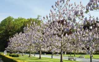 Адамово дерево Павловния: описание