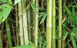 Почему бамбук быстро растет