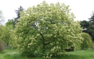 Ясень белый: описание, свойства, посадка и уход