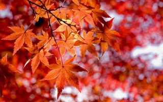 Почему краснеют листья клена