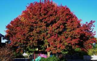 Могучий житель лесов — дерево красный дуб