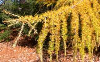 Лиственница американская: описание и особенности выращивания