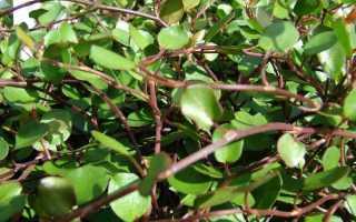 Мюленбекия: уход и размножение в домашних условиях