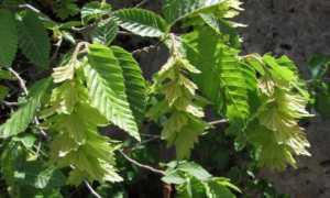 Граб восточный — целебное дерево рода Граб: описание, распространение, применение
