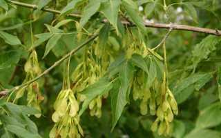 Американский клён: описание и цветение дерева