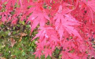 Дланевидный клен: описание, выращивание и уход