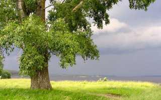 Тополь: особенности дерева, выращивание и уход