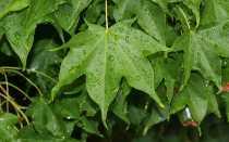 Клен мелколистный, или гольдский: ботаническое описание