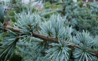 Голубой атласский кедр: описание, выращивание и уход