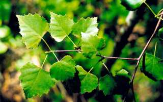 Почему у березы липкие листья