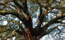 Удивительное дерево — пробковый дуб: особенности, применение