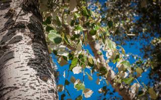 Осина — дрожащий тополь: описание и виды дерева