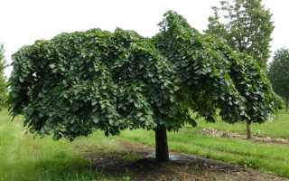 Шершавый вяз – описание, уход, выращивание, разножение