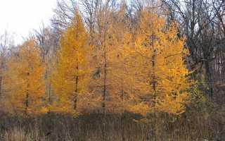 Почему лиственница желтеет осенью