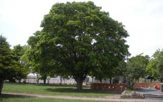 Дзельква, или японский вяз: описание и выращивание