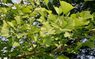 Древнейшее дерево на планете — гинкго двулопастный: описание и уход