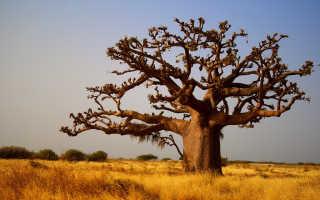 Африканское дерево баобаб: описание и полезные свойства
