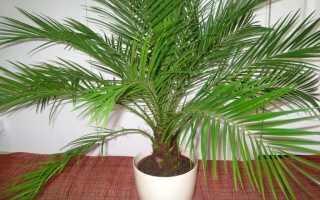 Почему сохнет финиковая пальма