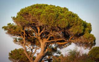 Пиния — итальянская сосна: выращивание и уход