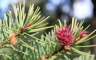 Псевдотсуга: описание и виды растения