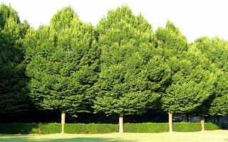 Листопадное дерево Граб: описание и условия для выращивания