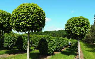 Клен шаровидный глобозум: выращивание, использование и посадка