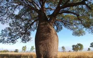 Описание и виды бутылочного дерева