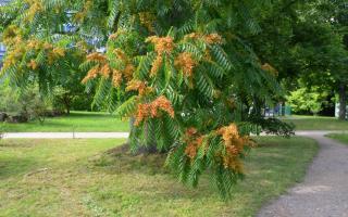 Айлант – крупнейший представитель симарубовых: описание и цветение, плоды