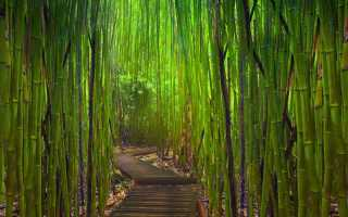 Бамбук: описание и виды бамбука