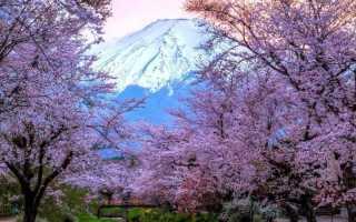 Сакура — японская вишня декоративная