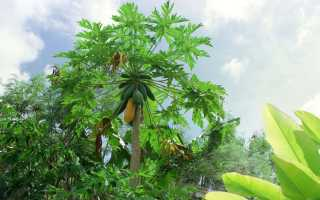 Дынное дерево: выращивание в домашних условиях